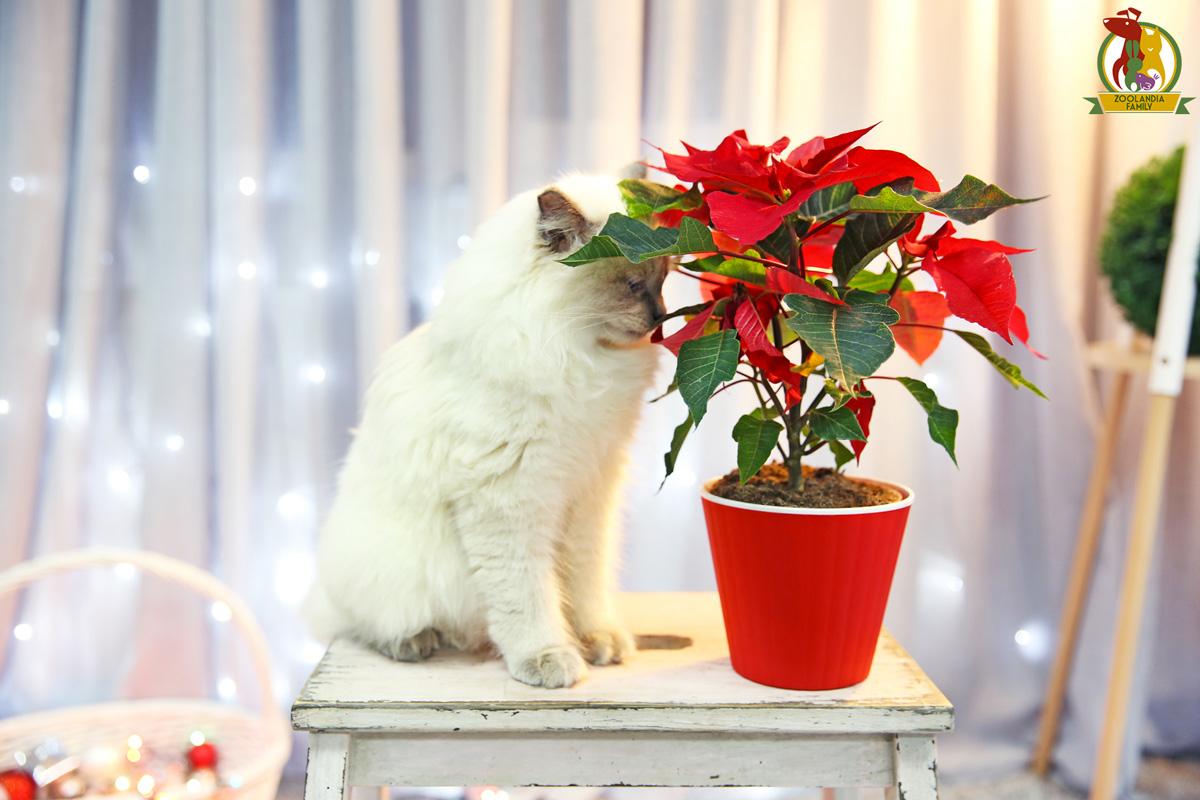 La Stella Di Natale E Velenosa.Piante Di Natale Tossiche Quali Sono Zoolandia Family