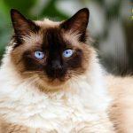 gatto-himalayano