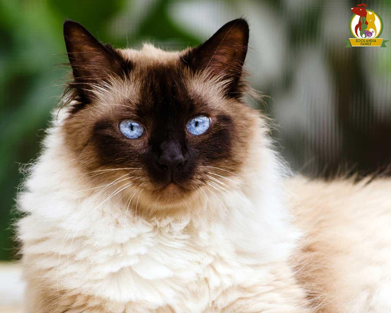 Il Gatto Himalayano Come Prendersi Cura Di Lui Zoolandia Family