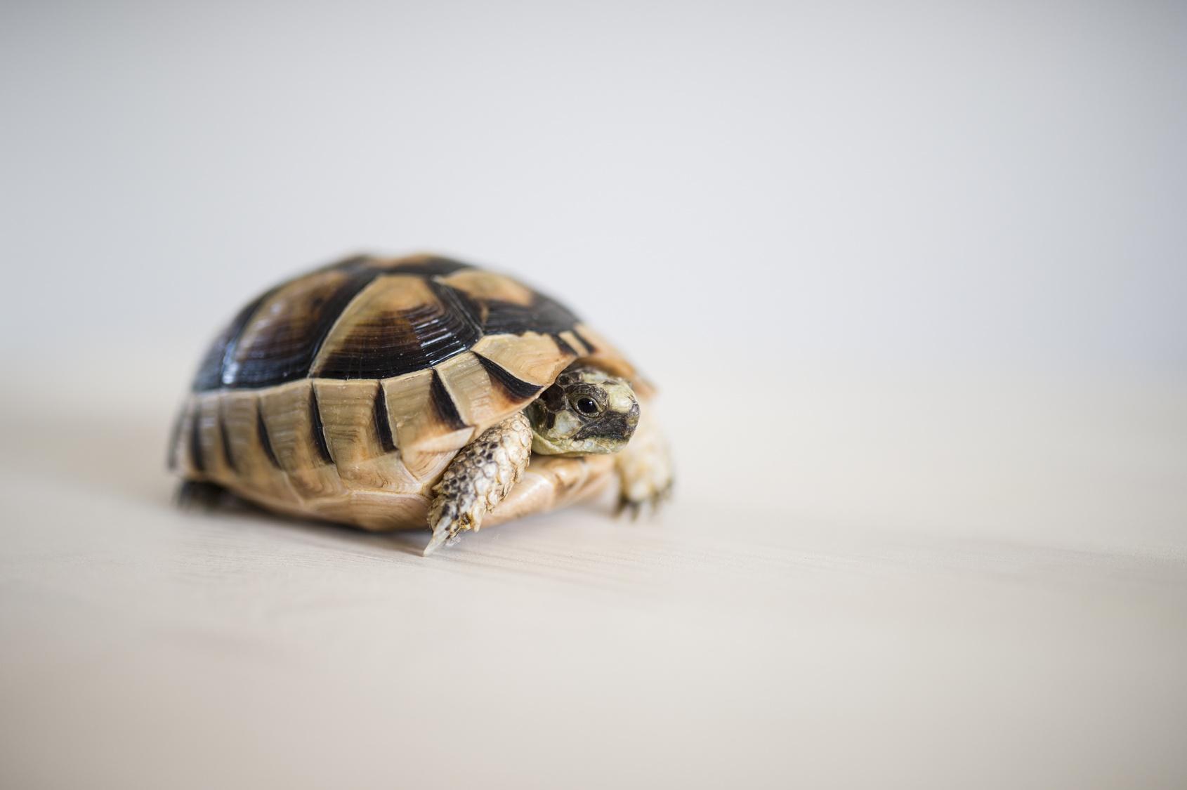 Letargo delle tartarughe come preparare la tana for Temperatura tartarughe